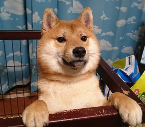 柴犬 おすすめ 画像