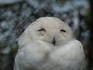 フクロウ 種類 シロフクロウ